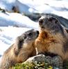 marmottes montagne
